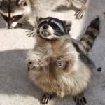 How long is raccoon feces dangerous