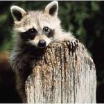 How to keep raccoons away from my backyard windows