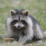 Found a raccoon in your garbage bin, this is what you should do