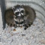 how raccoons get in your attic