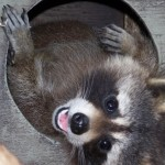 Found a raccoon in your garage, this is what you should do