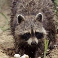 How raccoon baby season impacting business
