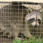How Can You Tell If a Baby Raccoon Is Abandoned