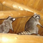 How likely is it for a raccoon to have rabies?
