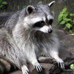 How to get rid of raccoons living near my home