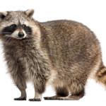 How Do Raccoons Get Inside a House