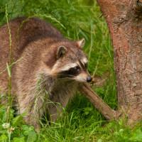 Humane Raccoon Traps
