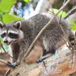 raccoon control Mississauga