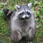 Best Way to Remove Raccoons from the Attic
