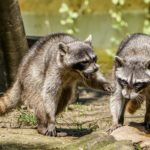 How to Get Rid of Raccoons in the Yard