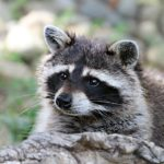 Raccoon Removal Service - How to Pick the Best Service