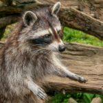 The Danger of Raccoon Droppings
