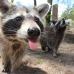 Ultrasonic Raccoon Repellent - Does it Better than Professional Service?