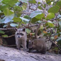 When Does Baby Raccoon Season Start?