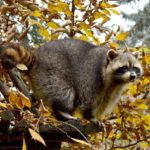Why you Need Professionals for Raccoon Trapping